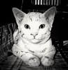 Happy 7th Anniversary, Joey! 😺💕 (stratman² (2 many pix!)) Tags: canonphotography powershotg11 cat littlejoey kitten gatito chaton kitteh blackwhite cc100 monochrome kucing