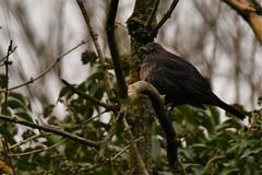 Young Female Blackbird (JerryGoulet) Tags: middletonlakesrspbnaturereserve wildlife feathers sigma150600 nikon d500 blackbird trees foliage leaf black birds wilderness uk england young female