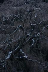 Winter of old cherry tree (HarQ Photography) Tags: fujifilm fujifilmxseries xt2 xf55200mmf3548lmois tree cherry nature snow winter nara japan