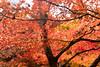 Gold (stuigi) Tags: japan kyoto nature tree japanese maple acer autumn leaves golden brown