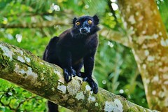 Black Lemur (Eulemur macaco) (Susan Roehl) Tags: madagascar2017 islandofmadagascar offtheeastcoastofafrica palmariumreserve nestofdreams akaninnynofy blacklemur male lemuridaefamily animal mammal primate endemic brownororangeeyes eartufts livesinmoistforests northewestregion eatsfruit 78ofdiet ripenessvital leaves fungi invertebrates nectar primaryandsecondaryforests activedaynight upperandmiddlecanopy forest tree foliage sueroehl photographictours naturalexposures panasonic lumixdmcgh4 100400mmlens handheld cropped coth5 ngc npc