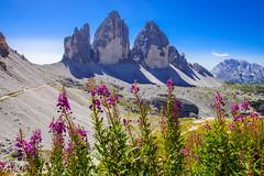 Drei Zinnen (Markus Lenz) Tags: 3zinnen berge blüten diewelt europa fotografie gebirge genre italien naturlandschaft orte pflanzenfotografie südtirol