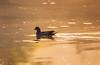 Common Moorhen (Saptashaw Chakraborty) Tags: 150600contemporary 6d bird canon centralpark commonmoorhen golden india kolkata morning reflection sigma sunrise water westbengal winter