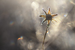 Lonely star (donlope1) Tags: macro nature light flower fleur bokeh frozen sunrise sun vegetation winter small proxy macrodreams