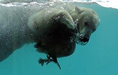 polarbear Blijdorp BB2A5338 (j.a.kok) Tags: ijsbeer beer bear polarbear arctic ursusmaritimus blijdorp animal noordpool northpole mammal zoogdier dier