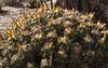 Ferocactus robustus with fruit in the Cactus & Succulent Gardens, Tucson Botanical Gardens (Distraction Limited) Tags: tucsonbotanicalgardens tucsonbotanical botanicalgardens gardens tucson arizona tbg20180201 ferocactusrobustus barrelcactus ferocactus fruit cactus cactusandsucculentgardens cactussucculentgardens