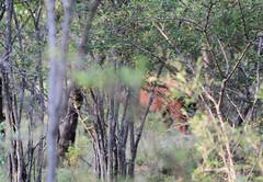 South Africa (s11_8) Tags: southafrica entebeni entabeni wildlife nature gamereserve game drive buffalo africanbuffalo