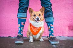 Sunday Funday 49/365 (stevemolder) Tags: corgi dog walk pink wall 365 project challenge pembroke sidewalk chicago winter socks vans welsh