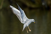 BIF of the day (2/2) : Fast landing, strong braking (Franck Zumella) Tags: animal bird oiseau gull mouette fly flying voler lake lac color couleur autumn automne fast rapide sony a7s