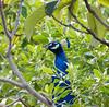 The Peekaboo Peacock (PuffinArt) Tags: nature outdoors green vegetation bird ave peacock head puffinart vandamalvig nikon d500 nikkor 18200 vr