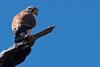 Australian Kestrel (david.john.lee) Tags: birds australiankestrel australia canberra raptor