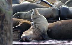 Resting at the pier (elianek) Tags: seal sealion leaomarinho foca marinho mar sanfrancisco pier deck california usa eua estadosunidos unitedstates america pier39 animais