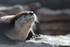 Sun Bathing (jhlarson) Tags: otter sunbathing sun mammal water