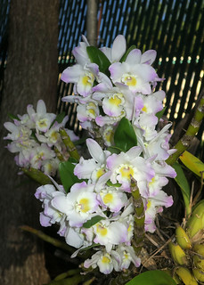 orchids by the fence