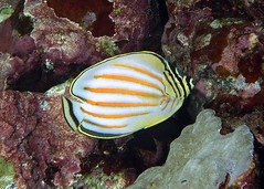bright stripes   -   Explored, February 22, 2018 (BarryFackler) Tags: nature outdoor biology hawaii life organism ecology kona ornatebutterflyfish sealife diving coralreef underwater ocean marinelife bay scuba aquatic vertebrate bigislanddiving tropical hawaiiisland fauna zoology honaunau konadiving sea creature being marinebiology westhawaii saltwater wildlife diver pacificocean bigisland 2018 fish kikakapu cornatissimus reef marineecosystem seacreature animal hawaiidiving water undersea pacific sealifecamera dive honaunaubay konacoast coral marineecology marine ecosystem island polynesia southkona sandwichislands hawaiicounty hawaiianislands barryfackler barronfackler explore explored inexplore