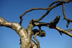 Twisted Tree (raymond6030) Tags: sonyrx100 tree branch sky blue goodmayes park goodmayespark londonboroughofredbridge