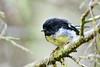 Tomtit (adbecks) Tags: tomtit nz wildlife birds nikon d500 300pf
