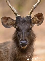 Deer Safari, Anna Zoological Park (rvk82) Tags: 2018 annazoologicalpark chennai february february2018 india nikkor200500mm nikon nikond850 rvk rvkphotography raghukumar raghukumarphotography southindia tamilnadu vandalur wildlife rvkonlinecom rvkphotographycom in