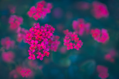 Flickering (Hanna Tor) Tags: macro flora flowers blossom bloom pink red nature petals hannator garden color bokeh 3deffect