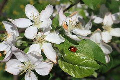 Lady Buggin' (TxTeapot) Tags: bugs insects flowers floral plants spring balkans bosnia lady bug sanski most