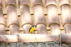 Birds in Tenerife (dreams of the earth) Tags: birds tenerife espagne yellow jaune arona chayofa santa cruz lovely oiseaux nature