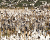 Sandhill Cranes (Wolfram 3) Tags: sandhillcranes cranes bit birdsinflight wildlife birds