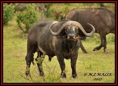 AFRICAN BUFFALO (Syncerus caffer) WITH YELLOW BILLED OXPECKER (Buphagus aficanus)......MASAI MARA.....SEPT 2017. (M Z Malik) Tags: nikon d3x 200400mm14afs kenya africa safari wildlife masaimara keekoroklodge exoticafricanwildlife africanbuffalo ngc npc