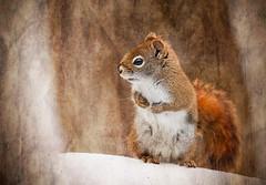 Aww, Nuts! (Knarr Gallery) Tags: squirrel redsquirrel texture muskoka snow winter trees wildlife bushytail nikon d300 tamronsp150600mmf563divcusd huntsville ontario canada knarrgallery knarrphotography darylknarr