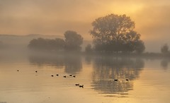 *eleven friends @ golden morning* (Albert Wirtz @ Landscape and Nature Photography) Tags: elevenfriends elffreunde goldenermorgen goldenmorning morningmood mosel moselle river water spiegelung reflections natur nature tree fog mist brume bruma brouillard nebbia misty foggy neblig dunstig laniebla nikon d700 enten ducks sunrise sonnenaufgang goldenhour goldenestunde twilight landscape landschaft paesaggi germany deutschland rheinlandpfalz rhinelandpalatinate schweich trier ehrang quint moseltal mosellevalley moselwein riesling paysages