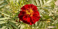Beauty in Nature. (amrelshazly535) Tags: flower flowers flora floral wild garden nature natural color colors colorful firingcolors red yellow green outsides outside outdoors focus photography