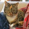 Gracie 20 November 2017 7097Ri sq (edgarandron - Busy!) Tags: cat cats kitty kitties tabby tabbies cute feline gracie patchedtabby