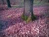 2017-12-18 morning walk (23)secret wood (april-mo) Tags: secretwood tree deadleaves