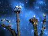 IMG_6995 The stork tree (pinktigger) Tags: stork cigüeña storch cicogne ooievaar ciconiaciconia cicogna cegonha bird nature fagagna feagne friuli italy italia oasideiquadris animal outdoor tree winter blue magic