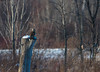 Hibou des marais/Short- eared owl -19956 (michel paquin2011) Tags: rouge hibou marais rapace saint hubert