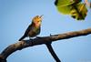 Troglodytes musculus (azambolli) Tags: corruira wren ave bird animal nature natureza brasil