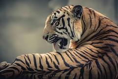 Tiger Portrait!  #tiger #portrait #photography #closeup #face #stripes #india #wildphotography #wildlifephotographer #AlvisLazarus #alvis #claw #sanctuaryasia #nature #majestic (AlvisLazarusPhotography) Tags: face majestic photography alvislazarus tiger stripes wildphotography claw nature closeup sanctuaryasia wildlifephotographer portrait india alvis