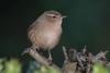 Wren-212 (davidgardiner8) Tags: birds eastsussex garden wren