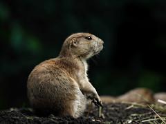 prairie dog (Millie Cruz*) Tags: cynomys prairiedog mammal zoo animal rodent bronxzoo newyork animalplanet soe inspiredbylove