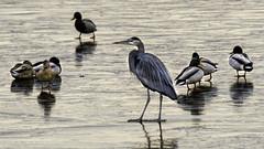 Walking on Water? (punahou77) Tags: birds ducks blueheron heron lakesahoma oklahoma tulsa nature nikond500 reflection lake ice water winter punahou77 park stevejordan wildlife waterbird waterfowl tamron150600mmlens