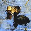 duck and coot together..... (atsjebosma) Tags: eend duck meerkoet coot countryestatenienoord landgoed nienoord reflections reflectie atsjebosma januari 2018 groningen thenetherlands coth5 ngc
