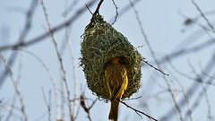 ein kunstvoll gebautes Nest (marionkaminski) Tags: namibia afrika africa bird parajo nest webervogel oiseau panasonic fz1000 lumixfz1000