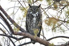 Great Horned Owl (Edhorton) Tags: great horned owl henderson bird viewing preserve las vegas nevada wildlife