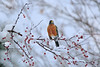 Love Where You Live (lfeng1014) Tags: lovewhereyoulive robin americanrobin snow winter snowy redberries berries bird closeup bokeh dof depthoffield canon5dmarkiii 70200mmf28lisii lifeng