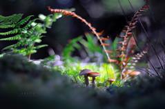 * To be two..and more * (-ABLOK-) Tags: mousse forest forêt bois wood nature auvergne ablok fungi champignon champignons mushroom macro bokeh tree arbre sunlight feuille autumn automne cueillette 50mm tag