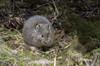 Moupin Pika (Tim Melling) Tags: ochotona cansus pika gansu baozou primeval forest china sichuan timmelling moupin thibetana baxi