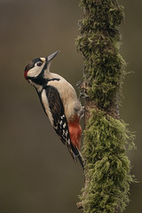 Woodpecker (cazalegg) Tags: woodpecker birds great spotted wild wildlife nature nikon forests woods