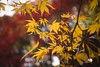 Yellow leafs... (Syahrel Azha Hashim) Tags: autumn touristattraction background trip season branches ilce7m2 sonya7 shinjukugoen colorimage sonyimages fall holiday nopeople simple sony seasonal 2017 details beautiful travel syahrel sonya7m2 destination outdoors park japan colorfulleafs tokyo colors