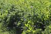 CKuchem-2140 (christine_kuchem) Tags: acker ackerrand agrarlandschaft biene bienenfreund bienenweide blühstreifen blüte boden bodenverbesserung dünger düngung eiweis eiweiserbsen erbsen feld felder grün gründünger insekten klee kulturlandschaft landwirtschaft lupinen mischung nahrung nektar phacelia pisumspec ramtillkraut sommer verbesserung winter winterroggen bio biologisch blau lila naturnah natürlich
