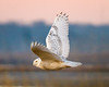 Dawn Flight (tresed47) Tags: 2017 201712dec 20171219delawarebirds birds canon7d content december delaware fall folder fowlersbeach owl peterscamera petersphotos places season snowyowl takenby us