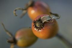 NFX_1226 (soderqvist.magdalena) Tags: rosehip nypon closeup macro nikon 105mm nature outdoors